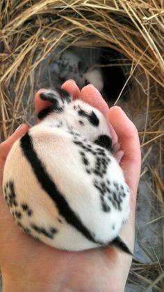 English spot bunny -- 1 week old...so very tiny!!!!