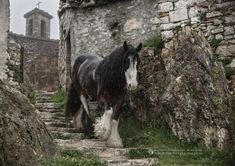 Superb photograph by Equine Photography by Katarzyna Okrzesik-Mikołajek of a Gypsy mare from Az. Allevamento Gypsy-Heart walking on the streets of beautiful old village Elcito, Italy. All The Pretty Horses, Beautiful Horses, Animals Beautiful, Cute Animals, Beautiful Beautiful, Image Avion, Shire Horse, Gypsy Horse, Draft Horses
