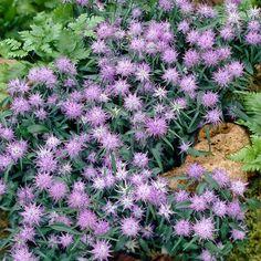 Phyteuma scheuchzeri - Ground Cover Perennials (0-25cm) - By Size - Perennial Plants - J. Parker's
