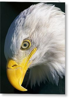 Eagle Pictures, Animal Pictures, Beautiful Birds, Animals Beautiful, Beautiful Things, Photo Aigle, Eagle Artwork, The Eagles, Bald Eagles