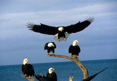 Grupo de águilas paradas en troncos junto al mar
