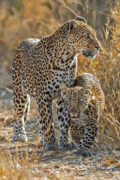 Een mama luipaard met haar kleintje <3