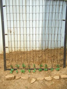 Pole Beans In Plastic Buckets With Twine Trellis