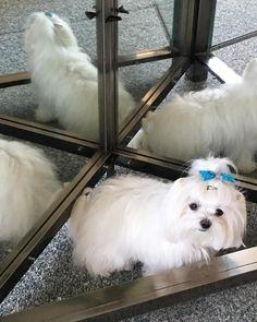 Toda la información sobre la raza de perro maltés, alimentación, cuidados, educación y productos especializados