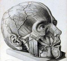 Human anatomy, head