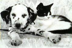 dalmatian and cats | ... and their feline friends. Who says dogs and cats do not get along