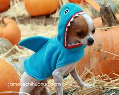 chihuahua shark!!!!