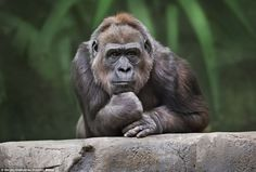 The Thinker: The gorilla, 15, strikes a pensive figure when he was pictured at Moscow Zoo, bearing a close resemblance to sculptor Auguste Rodin's famous work