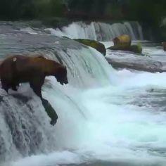 Bear belly flop! #BearCam at Katmai National Park Alaska