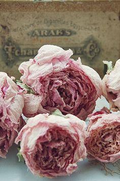 La beauté des roses anciennes s'est figée dans le temps.