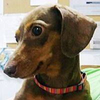 Houston Tx Dachshund Meet Grazia Golden Gate A Pet For