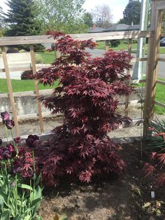 Acer palmatum Twombly's Red Sentinel #japanesemaple