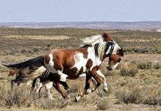 The Wild Mustangs of Sand Wash Basin Stallion Picasso & mare Mingo All The Pretty Horses, Beautiful Horses, Animals Beautiful, Horse Photos, Horse Pictures, Wilde Mustangs, Cheval Pie, Majestic Horse, Wild Horses