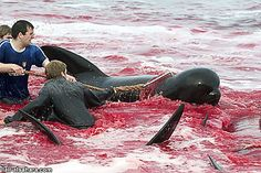 Faroe Islands Whale Slaughter Photographed  http://www.divephotoguide.com
