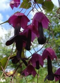 Purple Bell Vine (Rhodochiton atrosanguineum) Purple Bell Vine is a graceful, twining vine with heart-shaped leaves that is native to Mexico. Its blooms are deep purple and tubular with a lighter purple calyx.