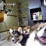 when the corgis attack - GIF on Imgur