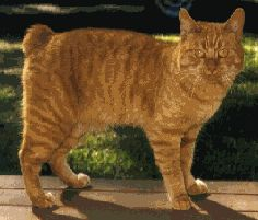 Manx cat - this has a little teeny bit of tail and is called a 'Rumpy'