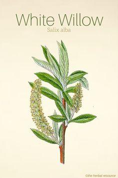 White Willow Salix alba #F4F #animals #vitaminA