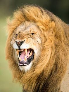 Image Danger, Roaring Lion, Thing 1, African Culture, Safari Animals, Wild Animals, African Image, African Art, East Africa