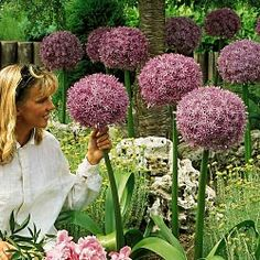 One of the best shade perennials - pairs well with Hosta - try Allium. Various sizes (these ones are GIANTS). Of the onion family - bulbs. Slow multiplier, but oh so dramatic! Blooms spring/summer then dies back.