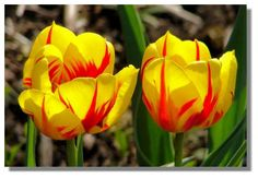 vibrant tulips