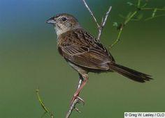 Botteri's Sparrow - Arizona