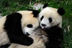 more cuddling pandas ; Animals And Pets, Baby Animals, Cute Animals, Baby Pandas, Giant Pandas, Panda Love, Cute Panda, Panda Panda, Most Beautiful Animals