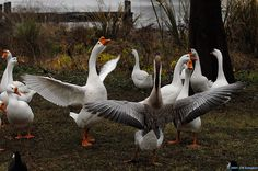 running goose - Google Search