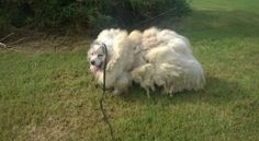 Horribly neglected 7-year-old Great Pyrenees spent entire life in barn