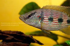 Red #Jewel #Cichlids: Photo des Tages - #Hemichromis elongatus