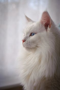 Darley, white Maine Coon and like OMG! get some yourself some pawtastic adorable cat apparel! Turkish Angora Cat, Angora Cats, Pretty Cats, Beautiful Cats, Bastet, Cute Cats And Kittens, Ragdoll Kittens, Tabby Cats, Funny Kittens
