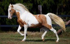Champagne Stallion Domesticated Animal Photography