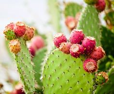 You may already know that prickly pear seed oil is a great moisturizer, but do you know what else it can do?