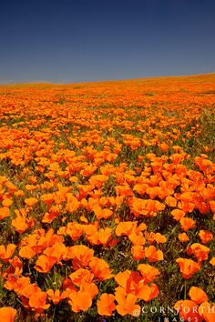 USA, California, Antelope Valley Poppy Preserve, California poppies (Eschscholzia californica) in bloom