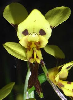 Orchid-Mimicry: Flower of Donkey-Orchid [Diuris sulphurea]