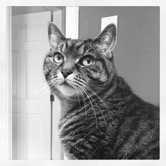 When your eyeliner is perfect.  #cat #Chababa #tabby #catlover #photooftheday #blackandwhite #instakitty #catstagram #catsofinstagram #beautiful