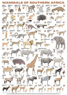 Mammals of Southern Africa Poster List Of Animals, Rare Animals, Zoo Animals, Animals And Pets, Strange Animals, Exotic Animals, Afrika Tattoos, Animal Species, Endangered Species