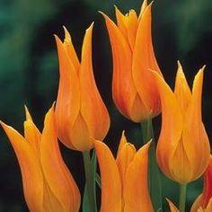 Tulip Ballerina | Parkers Wholesale