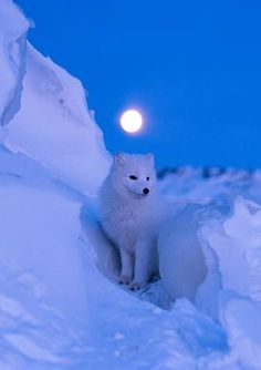 Before dawn, a brilliant full moon illuminates the snowy landscape of Churchill, Manitoba, Canada, home to an arctic fox. The fox's coat changes color with the seasons; as the snow melts it begins to turn grayish brown. Animals And Pets, Baby Animals, Cute Animals, Beautiful Creatures, Animals Beautiful, Arctic Fox, White Fox, Wild Dogs, Tier Fotos