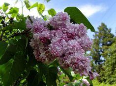 Belle de Nancy French double lilac