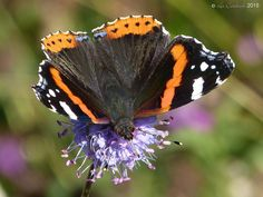 Red admiral   by LPJC