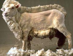 Half shorn sheep.