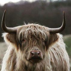 'Highland Cattle' by EmilyWednesday Cute Baby Cow, Baby Cows, Cute Cows, Vegan Animals, Farm Animals, Animals And Pets, Cute Animals, Strange Animals, Scottish Highland Cow