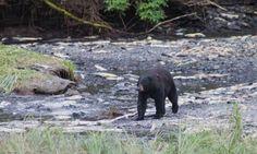 Bären-Spotting an der Dayville Road. Blind Dates, Black Bear, Wordpress, Elephant, American Black Bear, Elephants