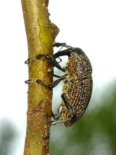 Weevil <3