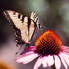 Top Plants for a Butterfly Garden:  1. Purple Coneflower  2. Salvia  3. Lantana  4. Pentas  5.Passionflower  6. Phlox  7. Mexican Sunflower  8. South American Verbena  9. Black-Eyed Susan  10.Butterfly Bush