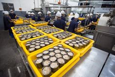 Some of you might wonder does Indonesia tuna factory have the same technology as other tuna factory in the world. But do not worries since Indonesian factory already follow new technology to make their product. Even though the technology might not be the most high tech among all, at least they already try to use machinery which suitable to create product in their factory.