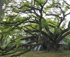 """Awesome<3  The Seven Sisters Oak""""  One of the largest known Live Oak tree is located near   Louisburg, Louisiana.   Name: Seven Sisters Oak   It is estimated to be over 1,000 years old   circumference of 37'2""""   crown spread of 150 feet"""