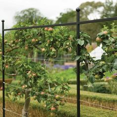 Alternative screen to agriframes. Harrod Espalier Growing Frame uses high quality components, carefully designed with the ideal spacing between steel posts and steel wires to optimise your fruit tree growth. Espalier Fruit Trees, Tree Support, Plant Supports, Frame Stand, Garden Maintenance, Fruit Garden, Apple Tree, Back Gardens, Garden Projects