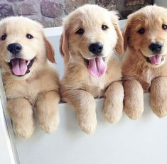 Three Adorable Puppies cute animals dogs adorable dog puppy animal pets